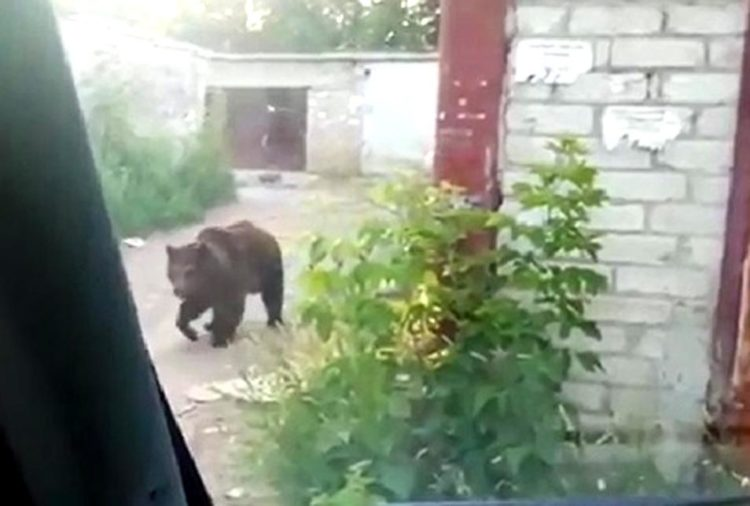 Медведица покусавшая двоих балаковцев выступала в цирке