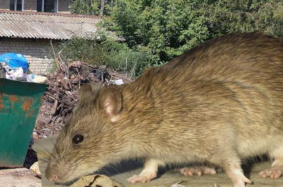 В Балаково на Привокзальной на детей прыгают крысы