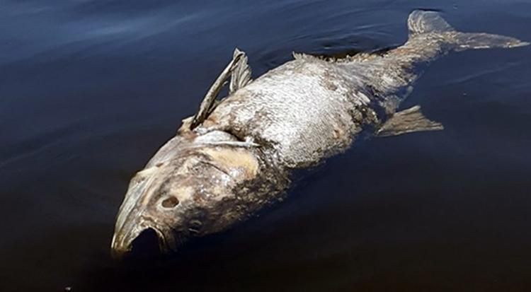 Мертвая рыба в Волге около Вольска и Балаково новая версия