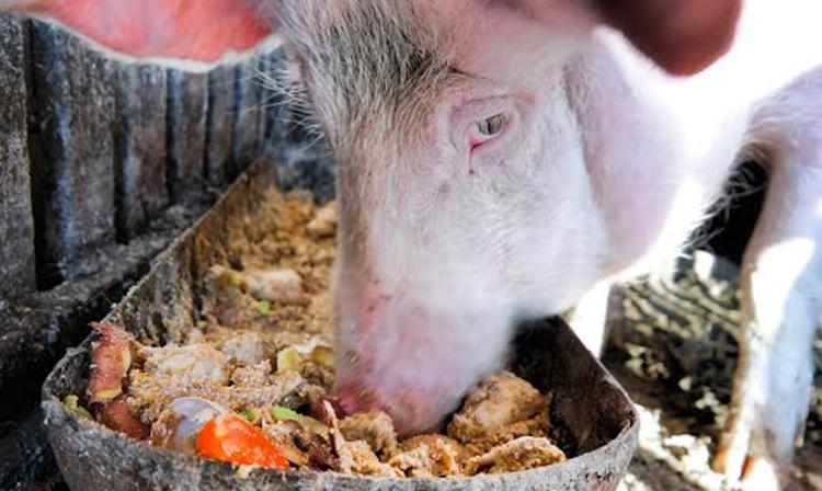 Фермер кормил свиней отходами из ковидной больницы