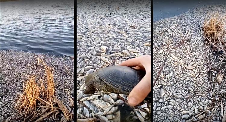 В озере в Балаковском районе задохнулась вся рыба